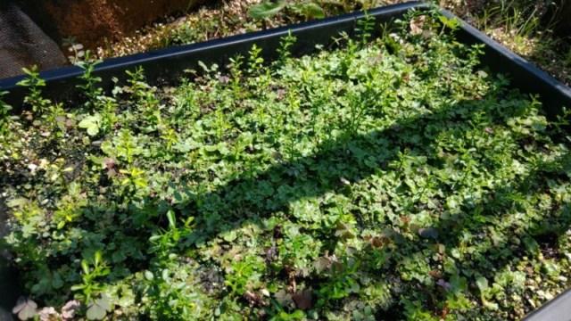 フィンガーライムの苗の越冬方法と寒さ対策『育苗で枯らせない方法』を解説 578