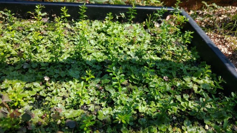 【フィンガーライムの実生の育て方①】種の採取から種まきの時期とその後の栽培管理 49