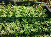 【フィンガーライムの実生の育て方①】種の採取から種まきの時期とその後の栽培管理 54
