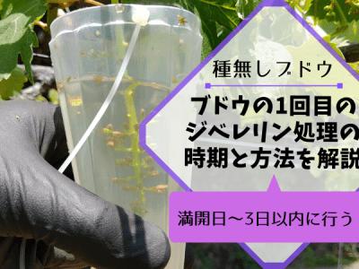 【種なしブドウの作り方①】1回目のジベレリン処理の時期は満開日~3日以内に行う 2