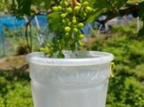 【種無しブドウの作り方②】2回目のジベレリン処理の時期は1回目の10〜15日後に行う 102