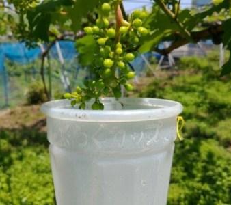 【種無しブドウの作り方②】2回目のジベレリン処理の時期は1回目の10〜15日後に行う 69