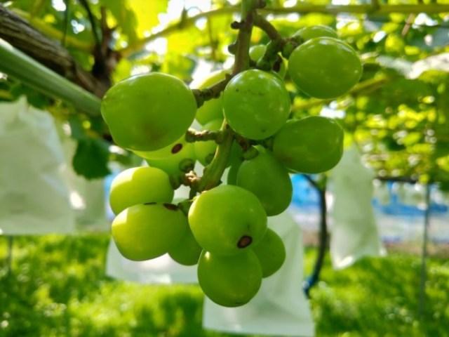 ブドウの病害虫【黒とう病の対策】発芽前の休眠期の防除で発生を減らす方法 67