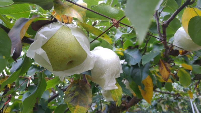 梨 ブドウ 追熟