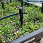 【フィンガーライムの実生の育て方②】育苗1年目の10月以降の灌水・温度管理について 14