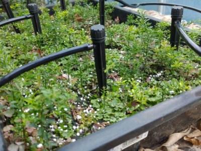 【フィンガーライムの実生の育て方②】育苗1年目の10月以降の灌水・温度管理について 6