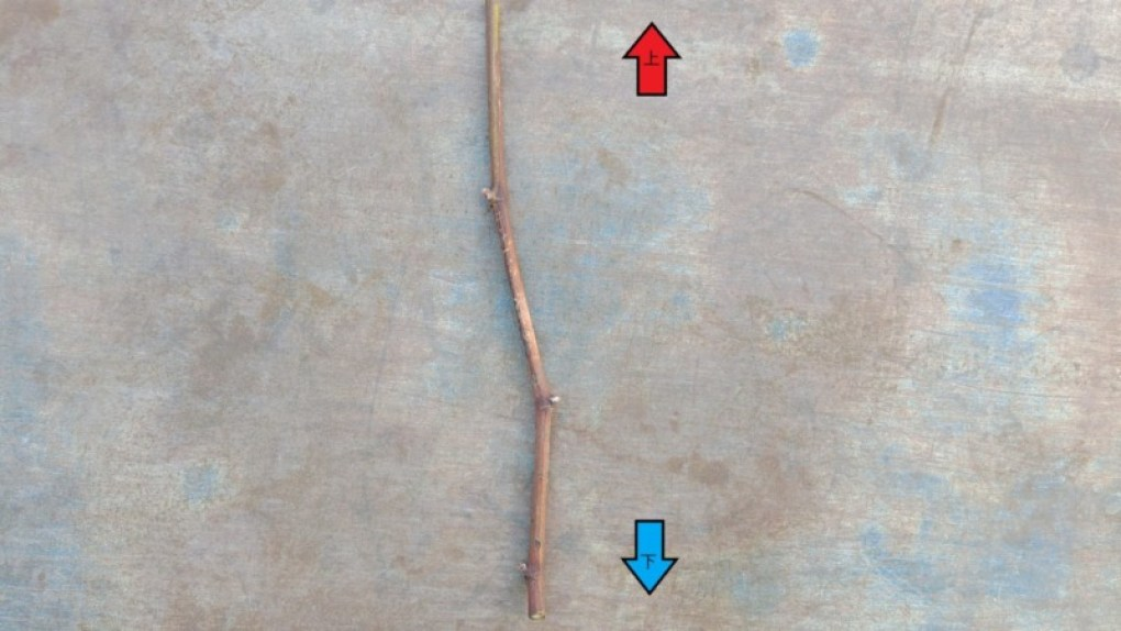 ブドウの挿し木の方法を解説【使った道具・用土・挿し木の時期やコツ】 448