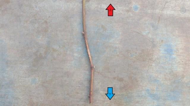 【ブドウの接ぎ木時期】ブドウの接ぎ木方法や台木についてを画像で解説 318
