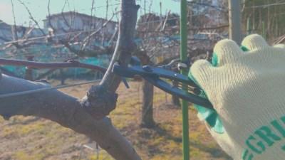 梨の稔枝鋏・幹割り鋏(バネ・止革付)210mmの性能を解説【梨の捻枝(ねんし)に】 268