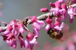 The bees are buzzing the red bud tree.
