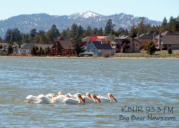White pelicans on Stanfield Marsh in Big Bear
