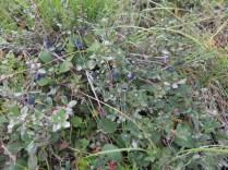 Low lying blueberry bushes