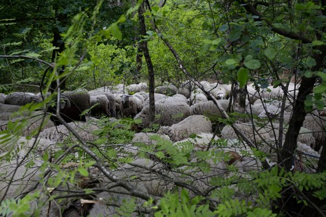 Sheep are herded towards the pen