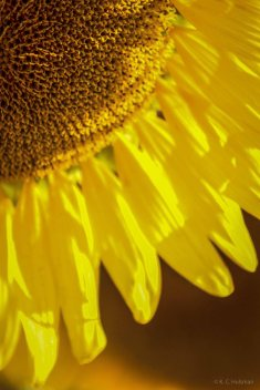 kch_sunflower08