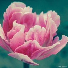 kch_tulips0
