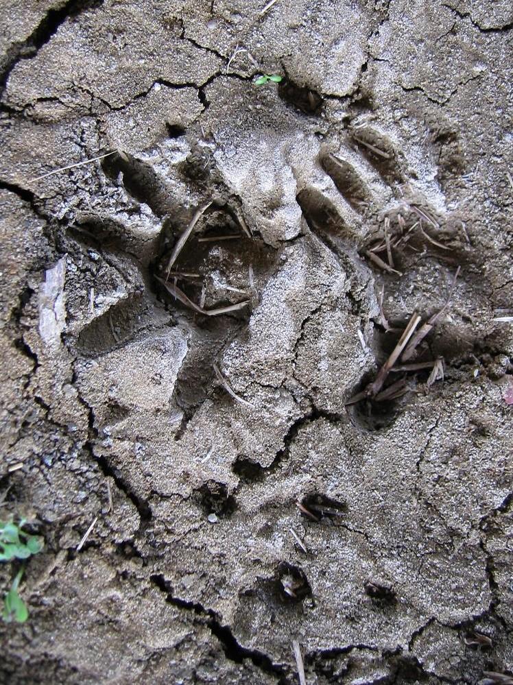 opossum track