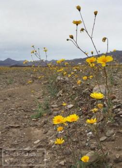 Death Valley Bloom 037