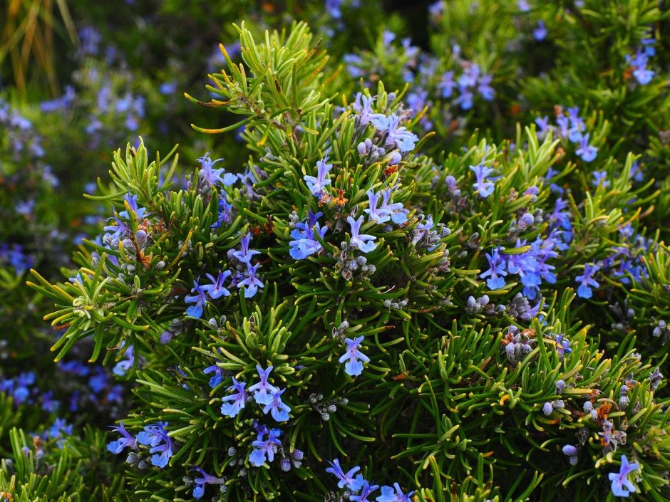 What among the herbals treats sore joints? Rosemary does!