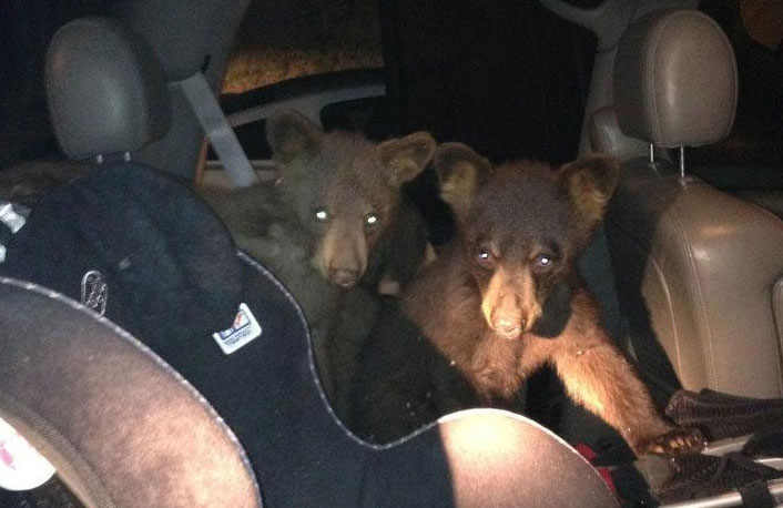 Bear cubs break into car in Snowmass Village, Colo. July 1, 2012