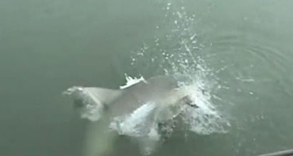 Shark steals woman's catch at North Myrtle Beach, SC. July 10, 2012