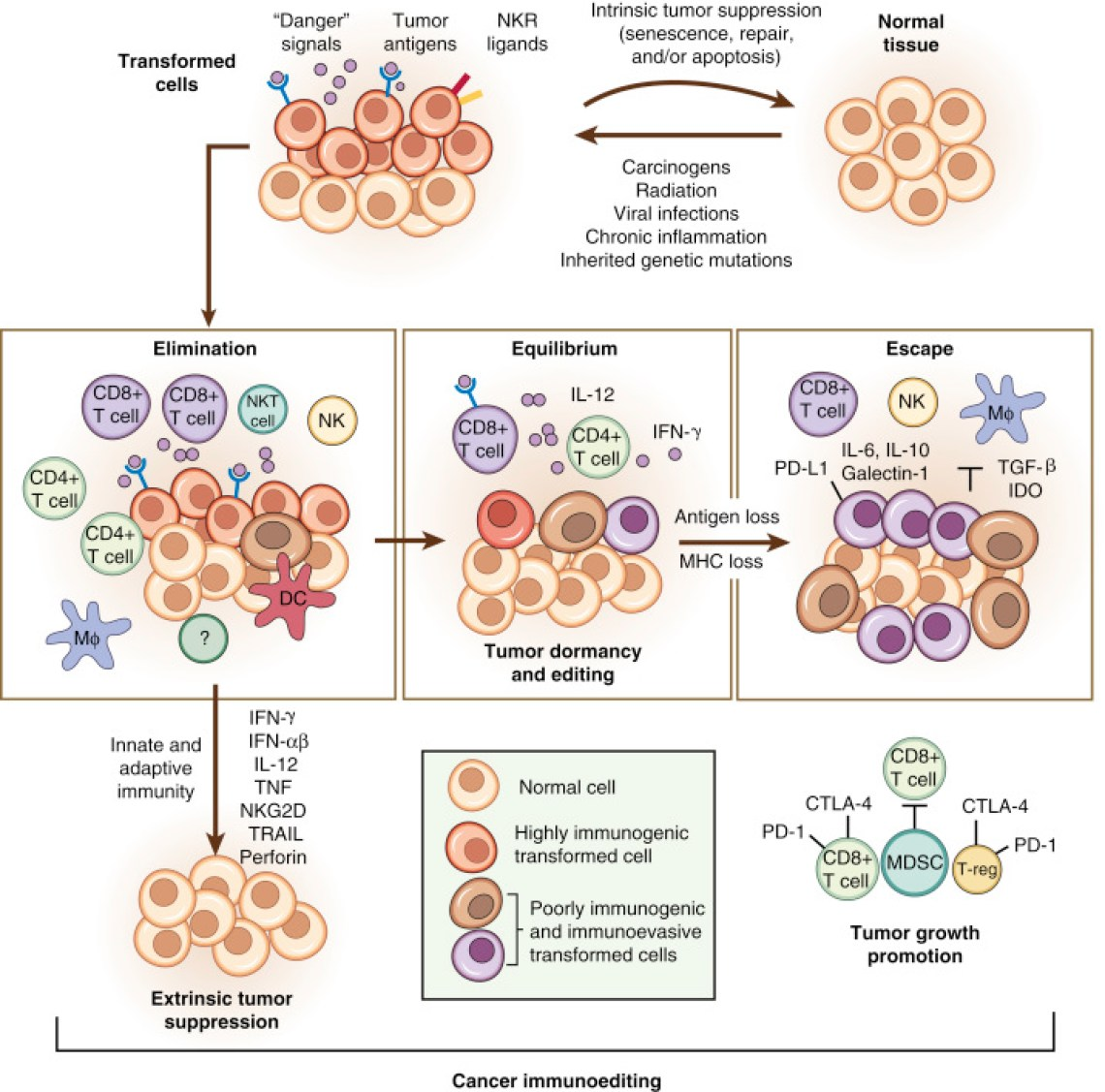 Figure 2: An illustration of the concept of cancer immuno-editing. The immune-editing process by cancer is divided into three stages: elimination, equilibrium and escape. As normal cells become transformed, they express certain molecules, including tumour-specific antigens on their surface. These antigens become recognised by both the innate and adaptive arms of the immune system which leads to elimination of the incipient cancer cells. However, due to high intratumoural heterogeneity, not all cancer cells are eliminated. In the equilibrium stage, the subpopulation of cancer cells with reduced immunogenicity can remain dormant for years. Subsequently, these cancer cells might outcompete the immune system by downregulating their surface antigens or inducing an immunosuppressive microenvironment. This represents the escape stage. Cancer cells that escaped the immune system are able to grow, divide and manifest as a clinically overt tumour. CTLA-4, cytotoxic T-lymphocyte–associated antigen 4; IDO, indoleamine 2,3-dioxygenase; DC, dendritic cell; MHC, major histocompatibility complex; NK, natural killer; NKT, natural killer T-cell; PD-L1, programmed cell death ligand 1; TGF, transforming growth factor–beta; IFN, interferon; IL, interleukin; PD-1, programmed cell death 1; T-reg, T-regulatory cells. Figure adapted from [86].