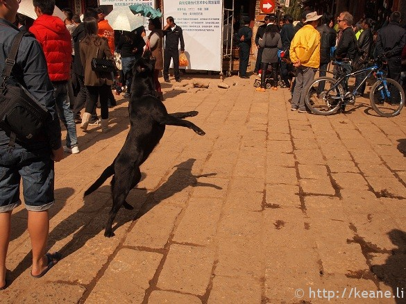 Dog jumps for a stone in Sifeng Square during COART in Shu He Ancient City in Lijiang