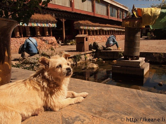 Cute dog sunbathing at Buddhist temple in Lijiang's Shu He Ancient City