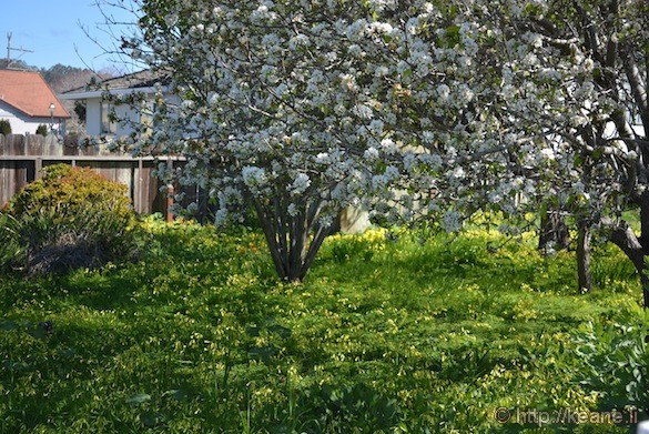 Cherry Blossoms and Flowers in Half Moon Bay