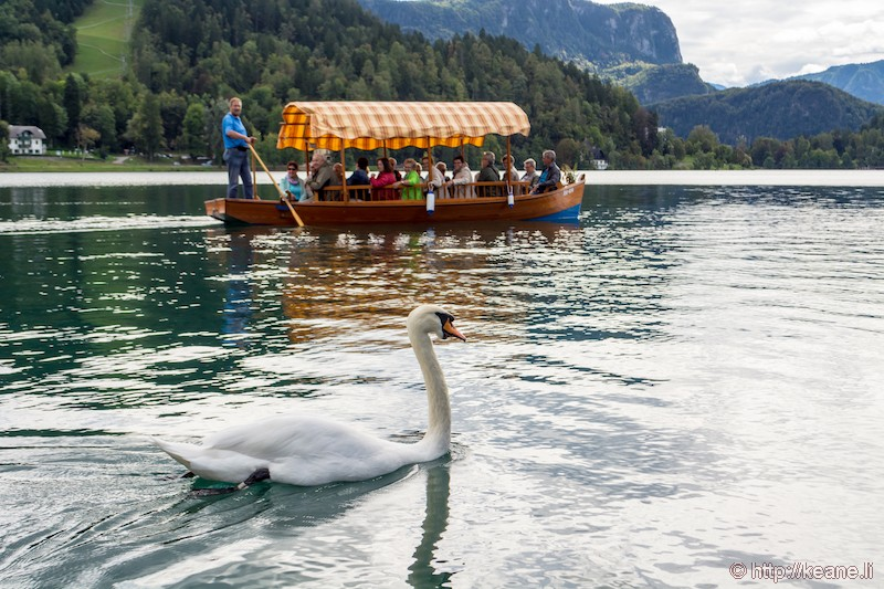 Swan and Boat in Lake Bled