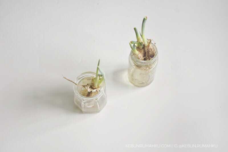 Bawang daun (bawang prei or scallions). Kalau misalnya gagal panen daun bawang, apa yang harus dilakukan? (Foto: kebunrumahku.com)
