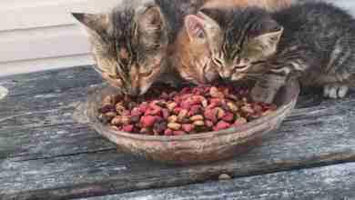 Photo of Yavru Kedi Ne Yer? Yavru Kediler Nasıl Beslenir?