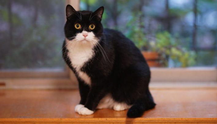 smokin-kedi-fiziksel-ozellikler