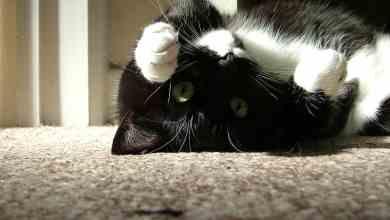 Photo of Tuxedo Kedi Cinsi Hakkında Şaşırtıcı 7 Bilgi!