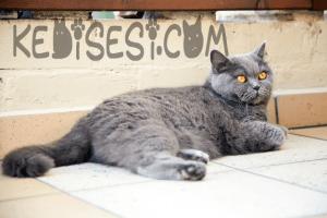 En Sakin Kedi Cinsleri- british shorthair