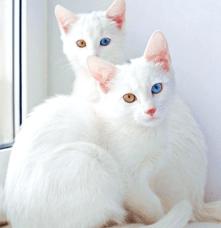 Tuhaf Kedi Cinsleri