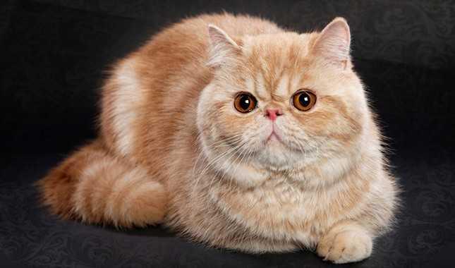 En Sakin Kedi Cinsleri, Kedi Sahiplenme