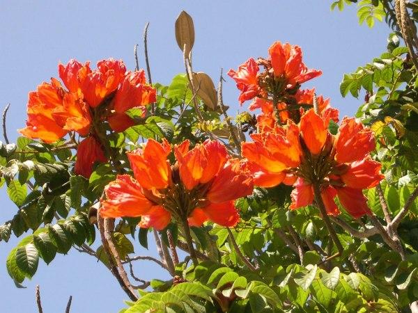 """Тюльпанное дерево. Тюльпанное дерево семена - """"Смоленский ..."""