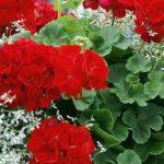 Kifecsegte a titkot a kertész, ettől ontja a virágait a muskátli