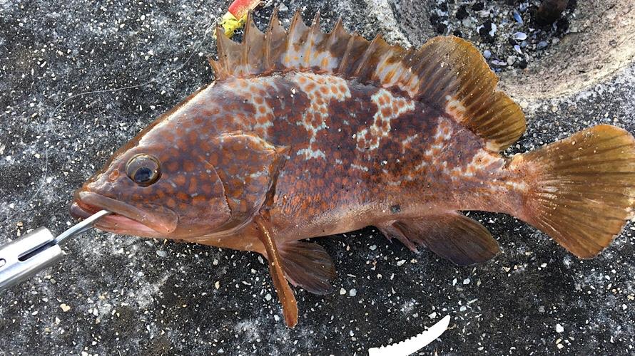 【投げ釣り入門編】堤防から大型根魚を狙う!釣り方・仕掛け・エサなどご紹介。
