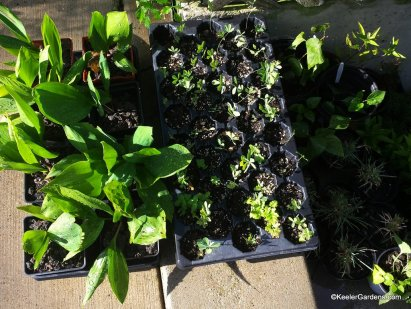 Plants from Keeler Gardens ready to share.