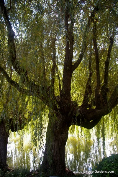 This giant weeping willow tree stands as a giant guardian almost all but blocking the view of the water behind it. It's huge branches arch down towards the water like a hundred horses stopping to drink at a river.