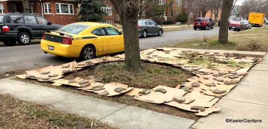 The parkway, grassy area between the sidewalk and the street, is completely covered with corrugated cardboard. This is the first step of lasagna gardening for the future pollinator habitat at Keeler Gardens.