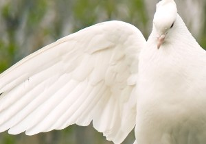 A Dove Release for Special Events