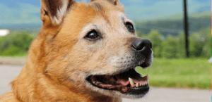 Jazzy the Studio Dog at Porcfest 2015