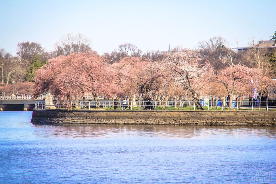 Photos of the Cherry Blossoms 2014 Washington DC
