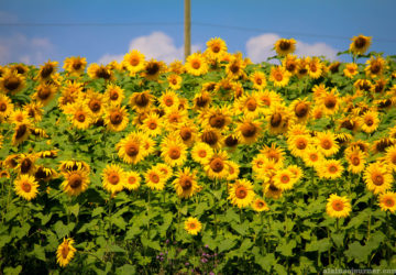 Day Trip from Toronto sunflower field in Ontario Innisfil