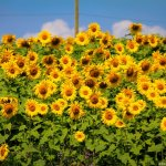 Sunflower Farm in Innisfil