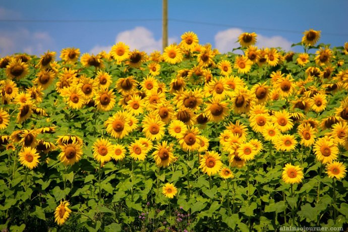 Day Trips from Toronto sunflower field in Ontario Innisfil