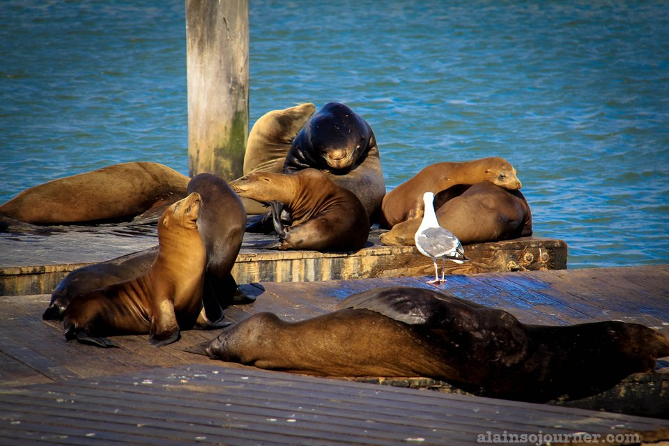 Sea lions Fisherman's Wharf San Francisco 8