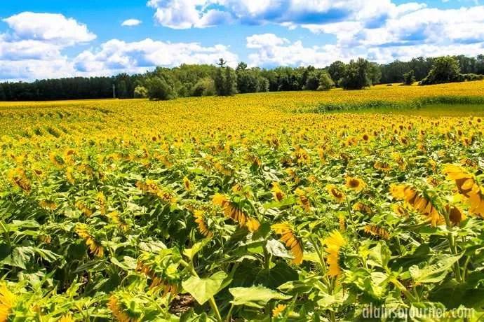 Hamilton Sunflower Farm Ontario 25